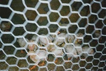La perra vida de los pollos